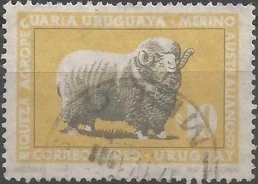 sheep breeds: Australian merino